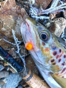 A tungsten bead-filled Glo Bug proved that the trout were feeding on the very bottom.