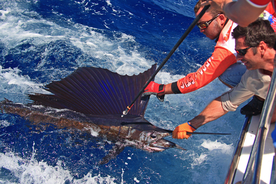A sailfish is held by the side of the boat, ready to be tagged as part of Australia's tagging program, undertaken by fishers. Image courtesy of Tim Simpson, Bluewater Magazine. © Tim Simpson, Bluewater Magazine.