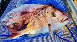 Two quality pink snapper in a recreational fishing net... a pretty good indication of a top quality fishing experience!