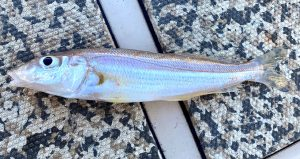 a red spot whiting