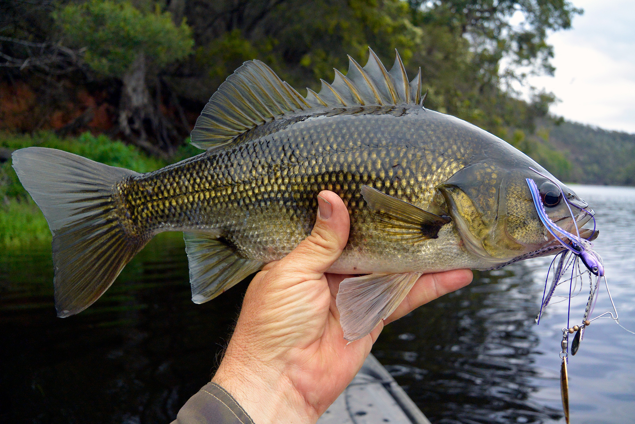 Brogo Bass are typically plump and full of fight.