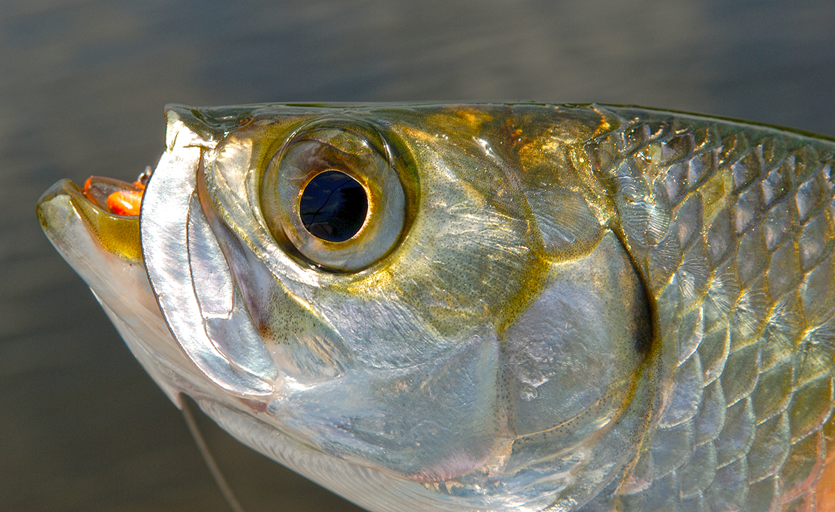 Tarpon are often very willing to play, especially on fly.