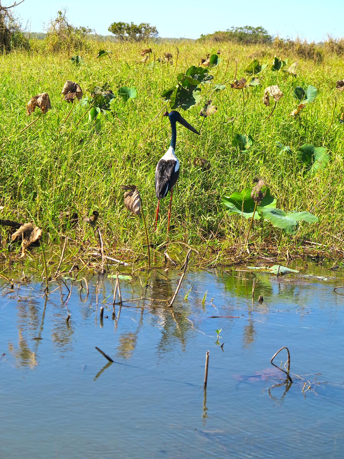 A jabiru stalks the bank of Corroboree Billabong.