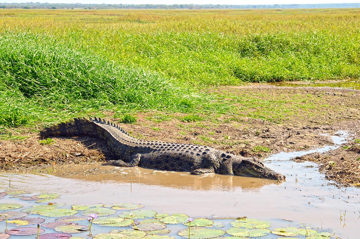 A large saltwater crocodile behind, at Corroboree Billabong, NT.